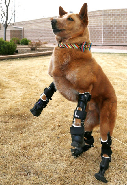 dog prosthetic legs
