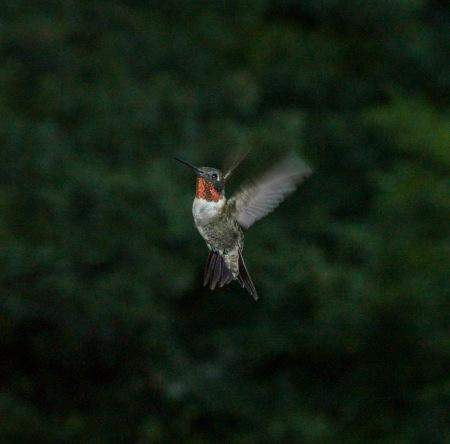 humming birds_04262