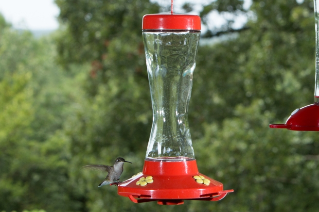 hummingbird_