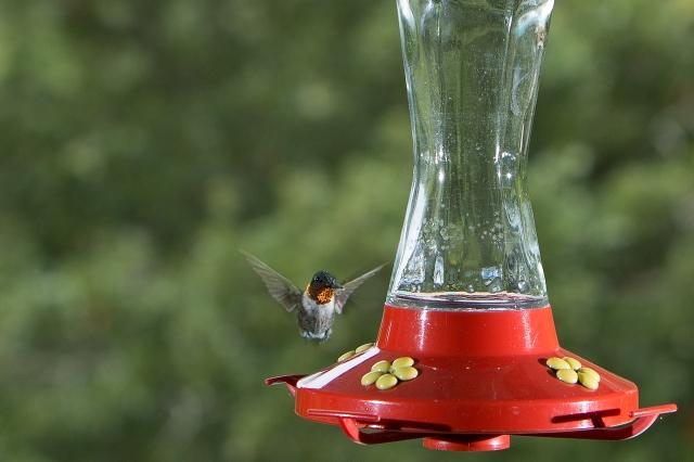 hummingbird_2